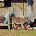 Donkey Goat And Chickens by David Arment