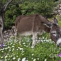 Donkey Grazing In Greece by Jean-Louis Klein & Marie-Luce Hubert