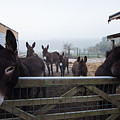 Donkeys by Dawn OConnor
