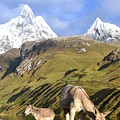 Donkeys Grazing In The Mountains by Harry Coburn