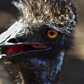 Dont Mess With The Emu by Roger Wedegis