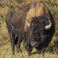 Don't Mess With This Bison by Priscilla Burgers