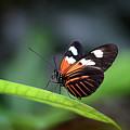 Doris Longwing Butterfly 2017 by Karen Adams