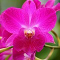 Dendrobium Orchid 2 by Kristina Jones