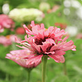 Double Blooming Pink Zinniain Garden  by Susan Vineyard