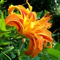 Double Blossom Orange Lily by Jai Johnson