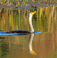 Double-crested Cormorant - 2 by Alan C Wade