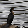 Double-crested Cormorant 20121101_128 by Tina Hopkins
