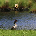 Double-crested Cormorant 3 by Cathy Lindsey