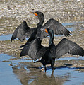 Double Crested Cormorant Pair by Alan Lenk