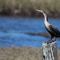 Double-crested Cormorant by Twenty Two North Photography
