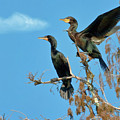 Double-crested Cormorants by Delores Knowles