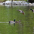 Double Duck Landing by Maria Keady