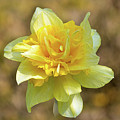 Double Headed Daffodil by Peter McHallam