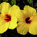 Double Hibiscus by Alan Hart