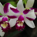 Double Orchid by Rob Hans