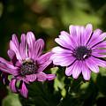 Double Purple African Daisy by Teresa Mucha
