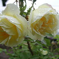 Double Rainy Rose by Ian Michaud