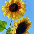 Double Sunflower by Brian Eberly