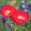 Double Take-two Red Poppies. by Usha Peddamatham
