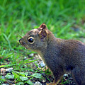 Douglas Squirrel  by Sharon Talson