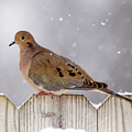 Dove In The Snow by Betty LaRue