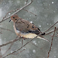 Dove In The Snow by Debbie Oppermann