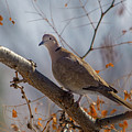 Dove On A Branch by David F Hunter