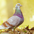 Dove  Standing Close Up by Vlad Baciu