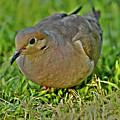 Dove With Hdr by David Stasiak