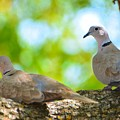 Doves In A Tree by Josephine Buschman
