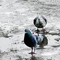 Doves On The Street by Elvira Ladocki
