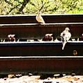 Doves On The Tracks by Lenore Senior