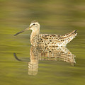 Dowitcher Reflection I by Clarence Holmes
