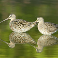 Dowitcher Reflections by Clarence Holmes