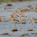Dowitchers by Ronnie Maum