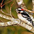 Downy Woodpecker by Alan Lenk
