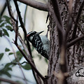 Downy Woodpecker by Cecille Gagne