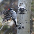 Downy Woodpecker by Heather Coen