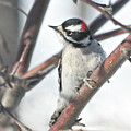 Downy Woodpecker In An Apple Tree by Laurie With