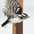 Downy Woodpecker In Flight by Laurie With