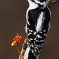 Downy Woodpecker On Tree Branch by Panoramic Images