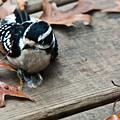 Downy Wooodpecker Picoides Pubscens by Douglas Barnett