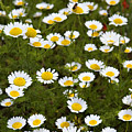 Dozens Of Daisies by Marilyn Hunt