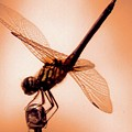 Dragon Fly by Angelcia Wright