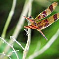 Dragon Fly by Dawn Gari