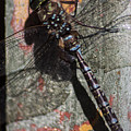 Dragon Fly by Kenneth Brunell