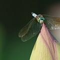 Dragon Fly Lotus by Buddy Scott