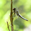 Dragonfly Slow Dance by Lisa Kilby