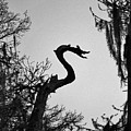 Dragon Shaped Tree by Cynthia Guinn